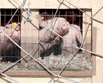 The third image of Breeding Pig Shipment by Chartered Planes