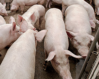 The fourth image of Breeding Pig Shipment by Chartered Planes